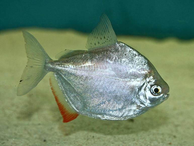 Jenis Ikan Hias Air Tawar Aquarium Ikan indah mirip dollar