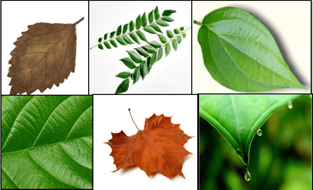 macam macam daun di sekitar kita