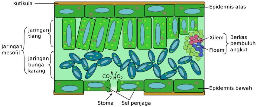 Jenis-jenis Daun Tumbuhan: Struktur Daun Bagian Dalam