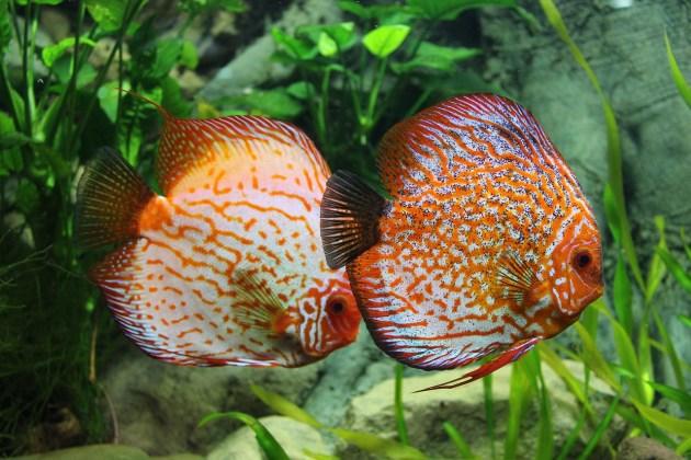Jenis Ikan Hias Aquascape Air Tawar Termahal Discus