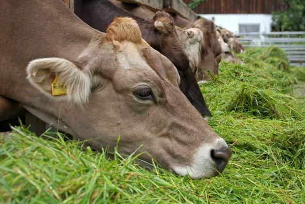jenis rumput untuk pakan ternak sapi