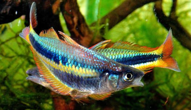 Jenis Ikan Hias Aquascape Air Tawar Termahal Rainbow