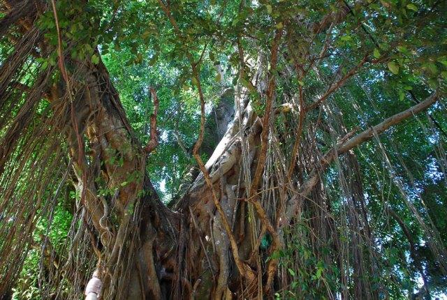 pohon subur