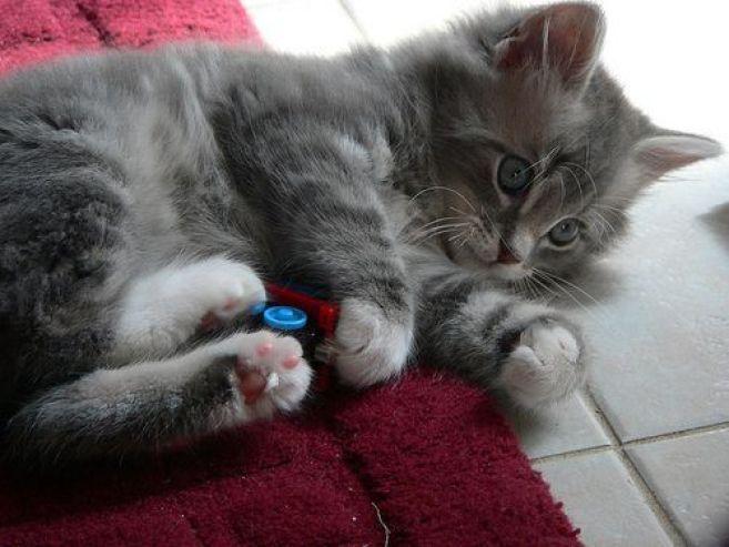 Comportamiento de tu gato
