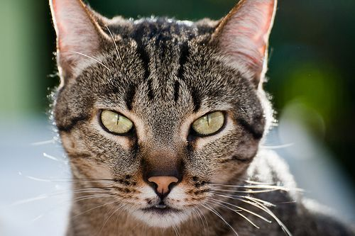 Test de carácter para gatos