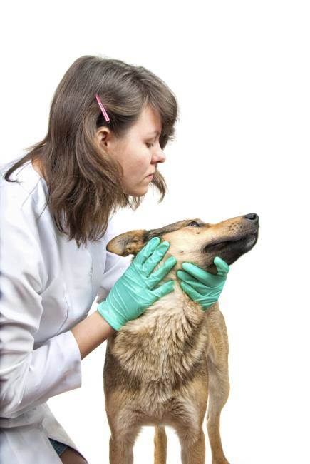 Cirrosis y fibrosis del hígado en perros