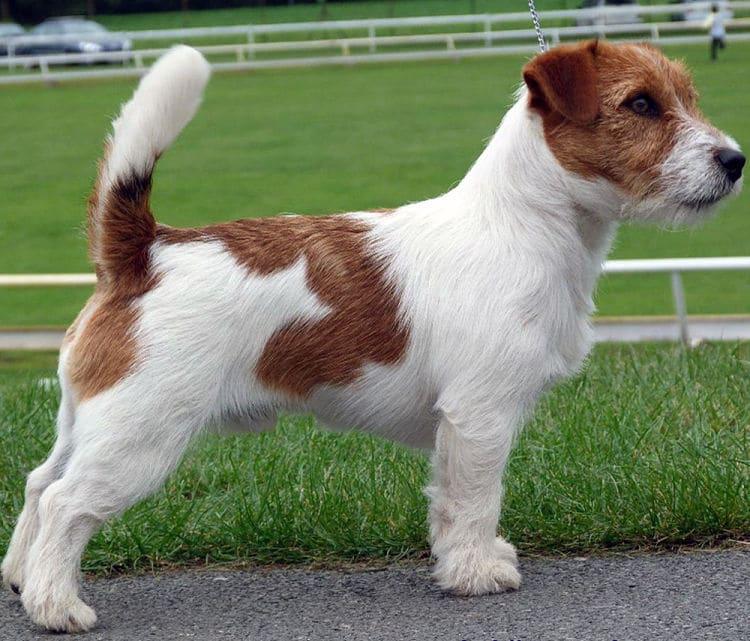 Jack Russell Terrier El Perfecto Compaero De Aventuras