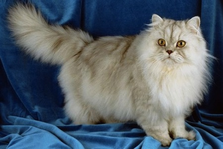 Síntomas de enfermedades en gatos