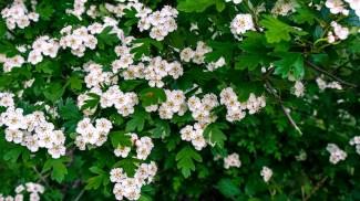 Propiedades relajantes del espino blanco - HeelVet