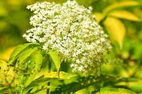 Propiedades antitusivas de las plantas - HeelVet