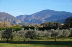 notre oliveraie sur fond du mont VentouxMont Ventoux