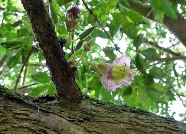 Parmentiera aculeata plantas medicinales méxico
