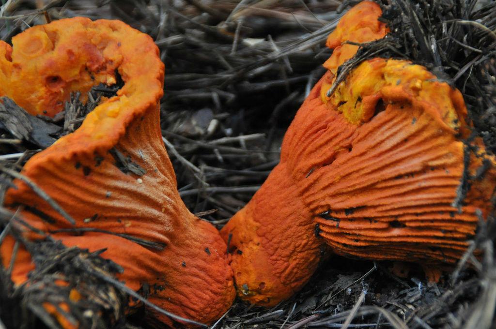 Por qu se dice que Michoacn es la tierra de los hongos