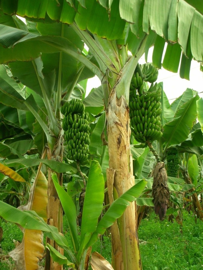 Pohon pisang berbuah