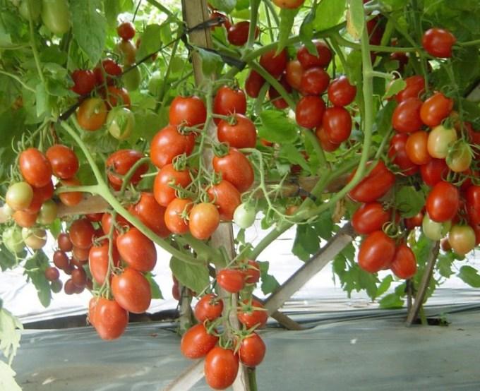 Tanaman tomat harus disangga
