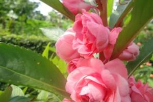 Bunga pacar air merah muda