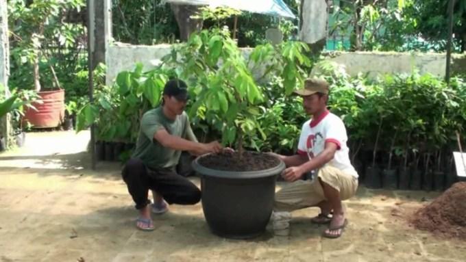 Menanam tanaman buah dalam pot