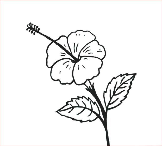 Contoh Gambar Bunga Kembang Sepatu Kumpulan Foto