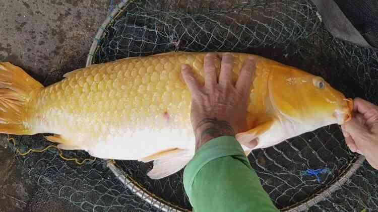 Resep Umpan Ikan Mas Juara Untuk Lomba Atau Mancing Biasa
