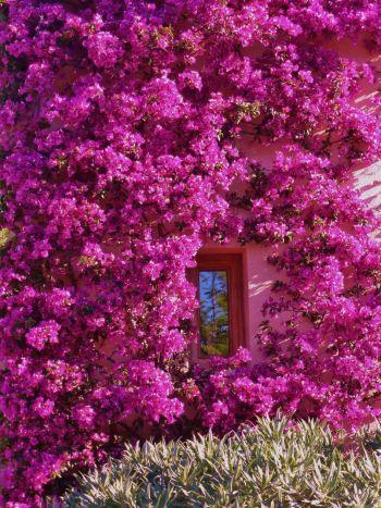 Mallorca-bougainvillea