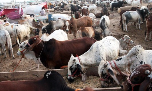 cattle mandi pakistans famous attraction