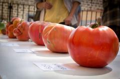 Los Tomates más Gordos!