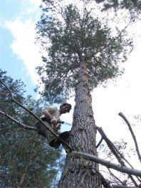 Podando un pino