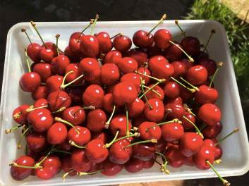 18 Cosecha de cerezas