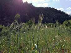 34 Cultivo de kamut, o trigo egipcio