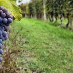 """Advierten que la vitivinicultura atraviesa una situación de """"quebranto generalizado"""""""