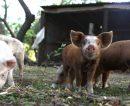 Detectaron carne con triquinosis en la Provincia