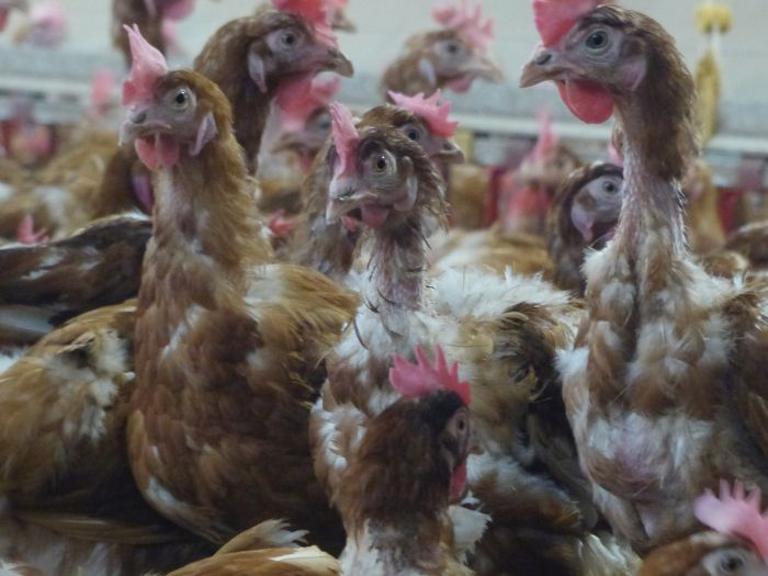 Why cage-free production ceased 50 years ago