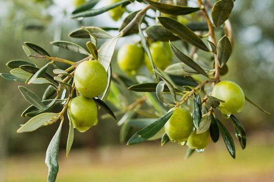Benefits of olive bioactives in gut health