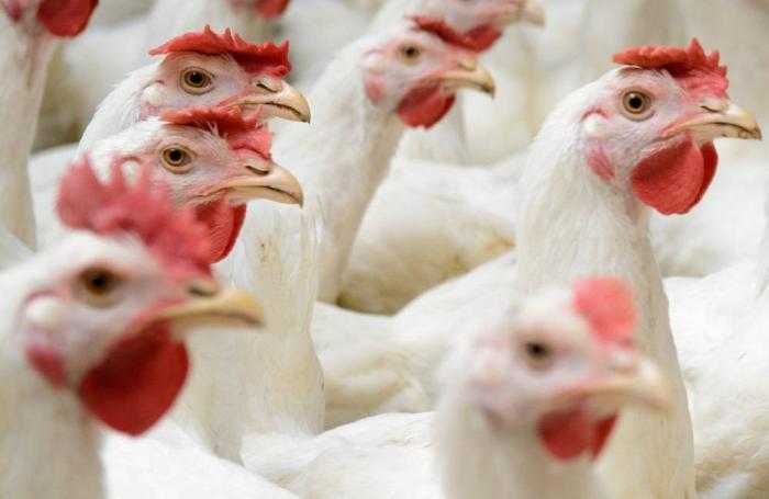 Algo bueno le está sucediendo a la industria avícola