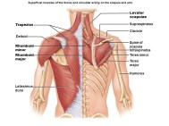 The thorax and shoulder scapula acting on the arm
