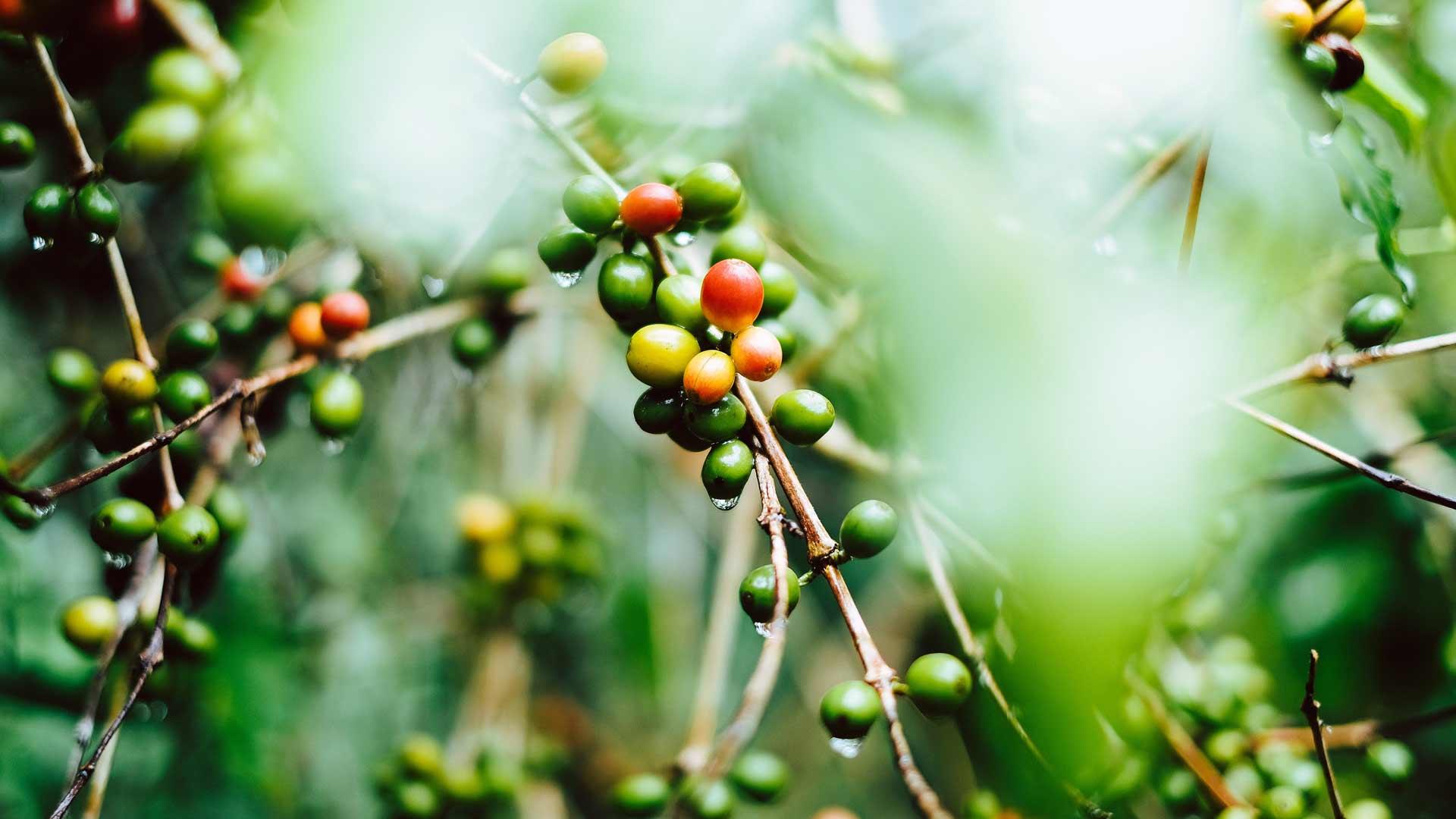 Kaffeplantor under träden i Guatemala
