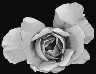 rose 5 sketch