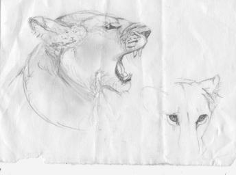 snarling lion rough