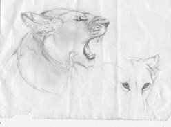 Lion Snarling Rough