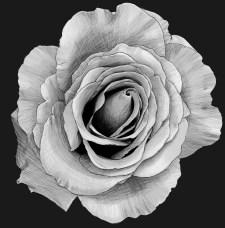 Rose 2 sketch