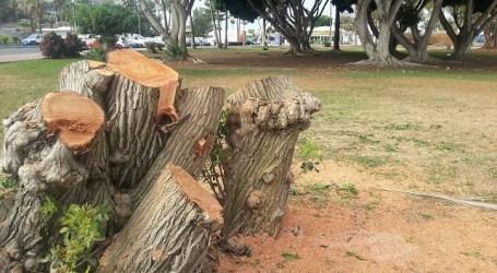 """Vecinos de Mogán califican la tala municipal de """"auténtica masacre verde"""""""
