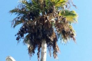 Playa del Cura, palmera seca