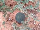 Sandia negra