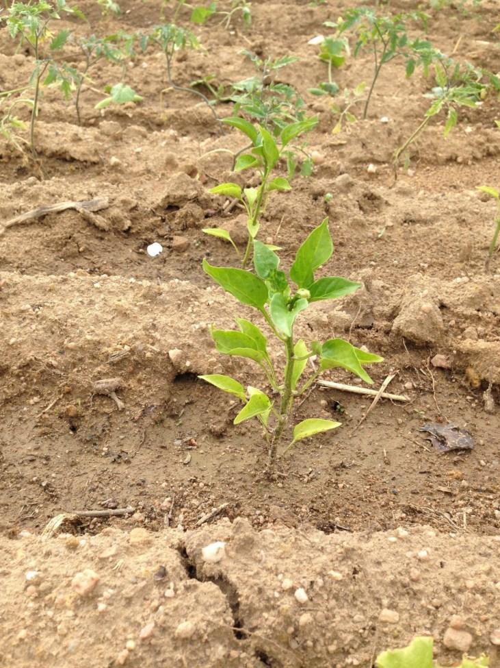 Após alguns dias da plantação