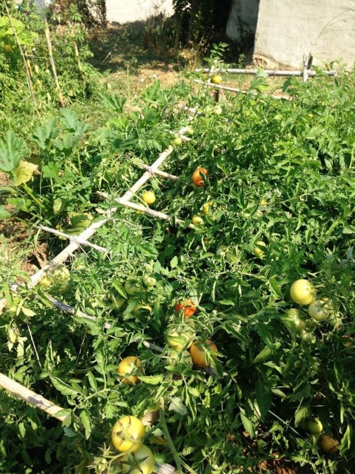 Os primeiros tomates a ficar maduros