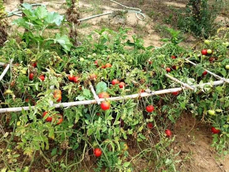 Tomateiros perto do fim