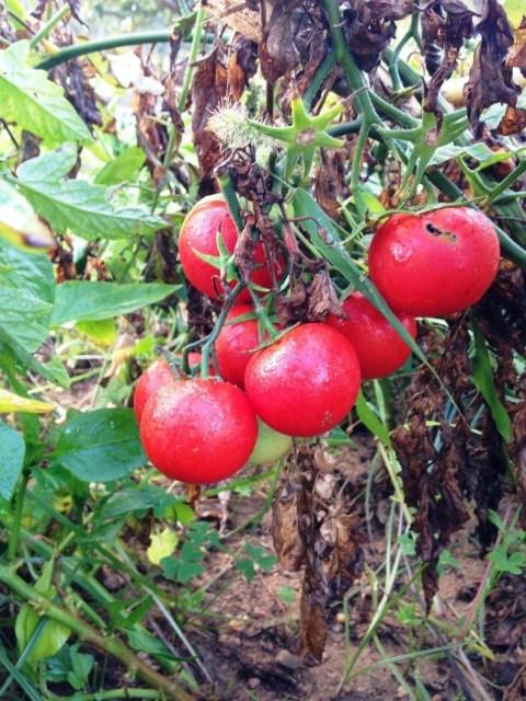 Os últimos tomates