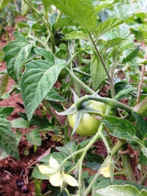 O primeiro tomate a aparecer