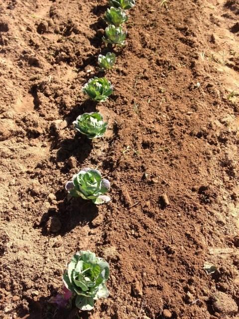 Rabanetes semeados do lado direito