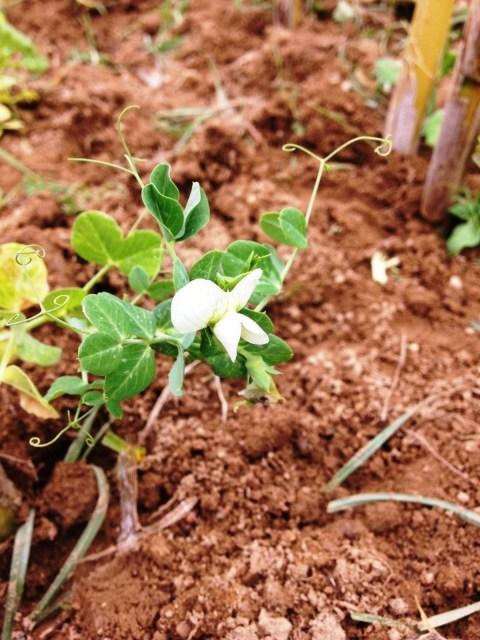 Ervilha em flor
